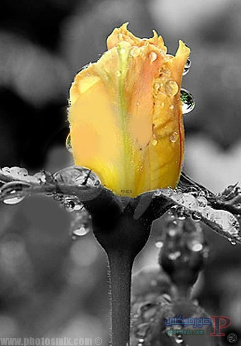 ورد صور ورودصور زهورصور الوردتحميل صور وردخلفيات وردخلفيات زهورصور بوكيه ورداشكال الوردصور ورد احمرورد اصفرصور بوكيه ورد مخطوبيناجمل صور ورد 14