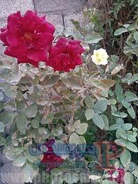 1506609568-5465-200px-Gardens-6 صور ورد, تحميل اكثر من 100 صور ورود جميلة, صور ورد رائعة 2018