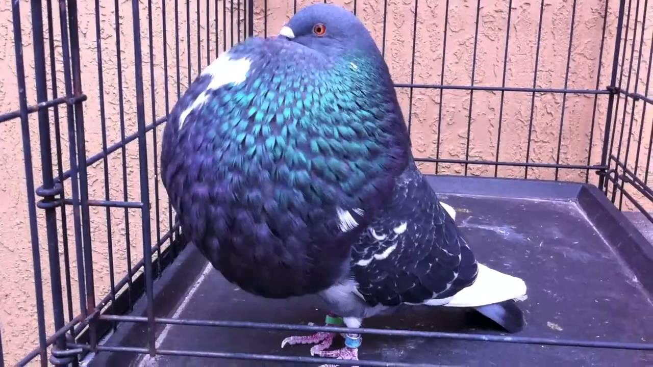 صور حمام طيور جميلة اجمل خلفيات طيور جارحة طيور جميلة 16