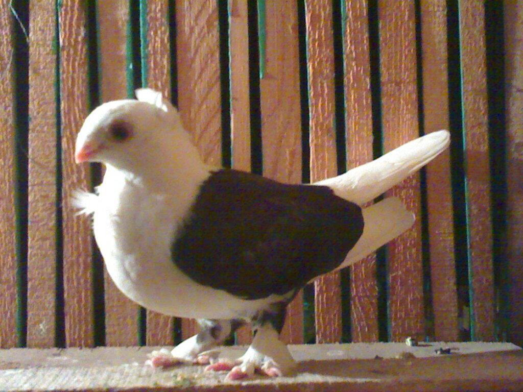 صور حمام طيور جميلة اجمل خلفيات طيور جارحة طيور جميلة 17