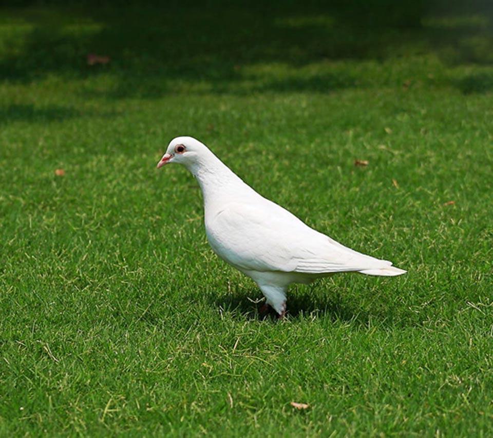 صور حمام طيور جميلة اجمل خلفيات طيور جارحة طيور جميلة 19