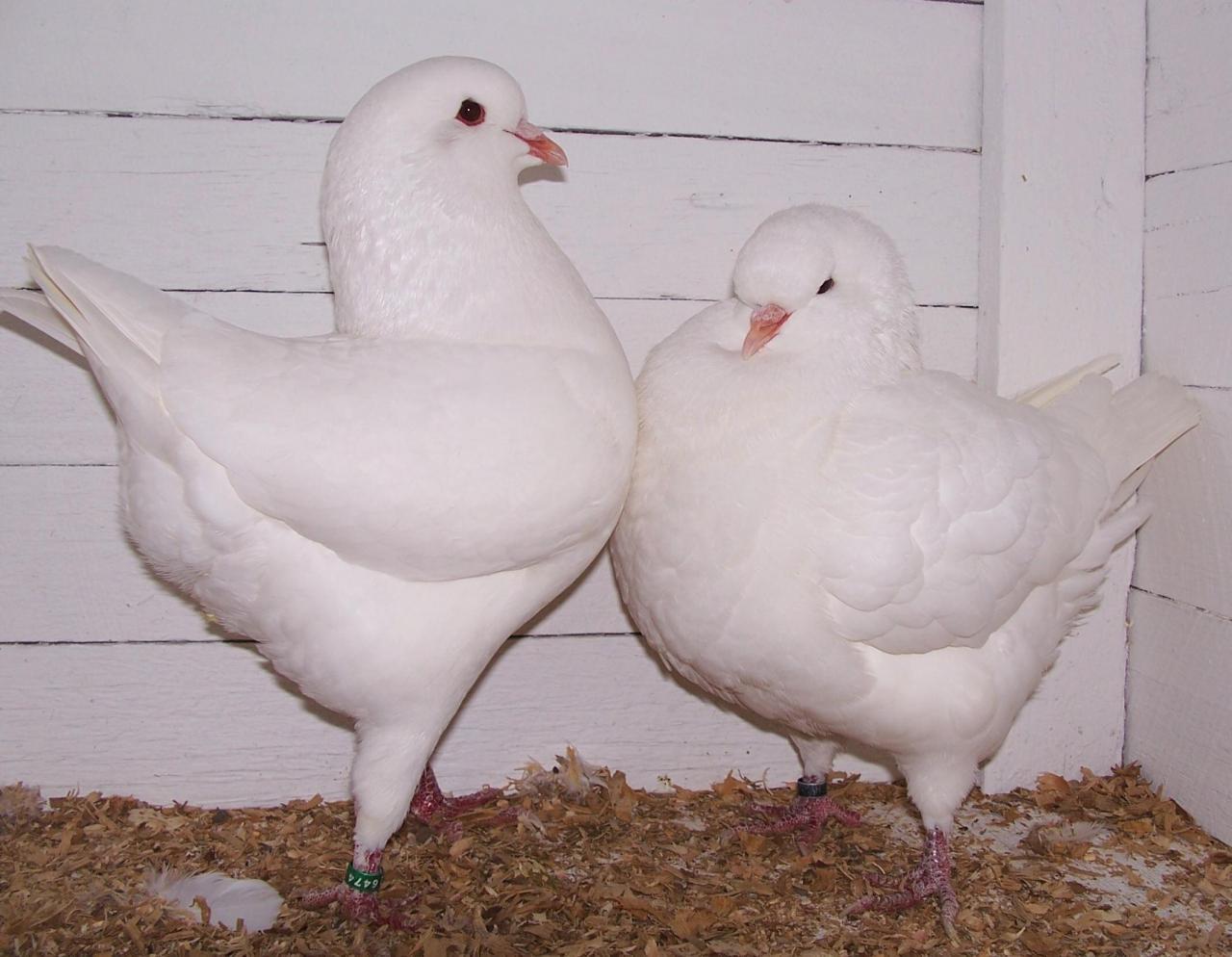 صور حمام طيور جميلة اجمل خلفيات طيور جارحة طيور جميلة 23