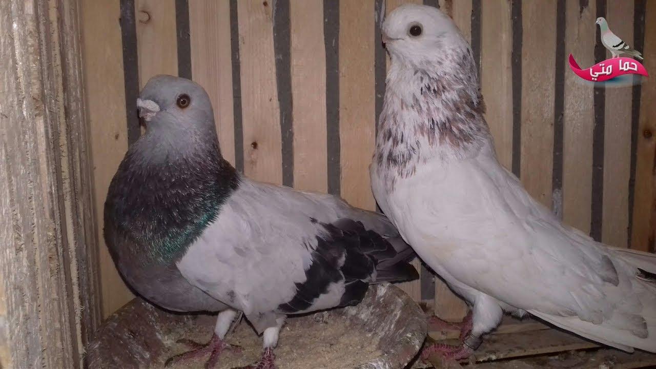 صور حمام طيور جميلة اجمل خلفيات طيور جارحة طيور جميلة 25