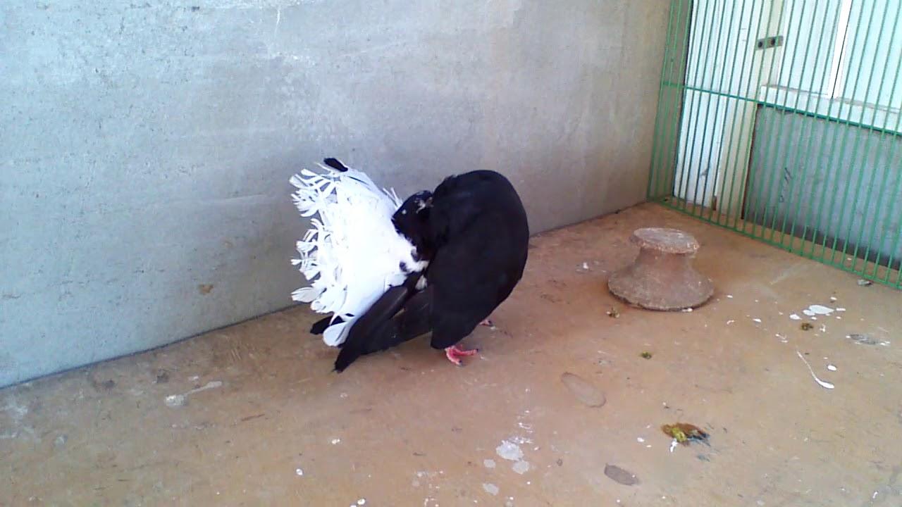 صور حمام طيور جميلة اجمل خلفيات طيور جارحة طيور جميلة 26