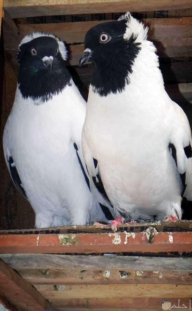 صور حمام طيور جميلة اجمل خلفيات طيور جارحة طيور جميلة 28