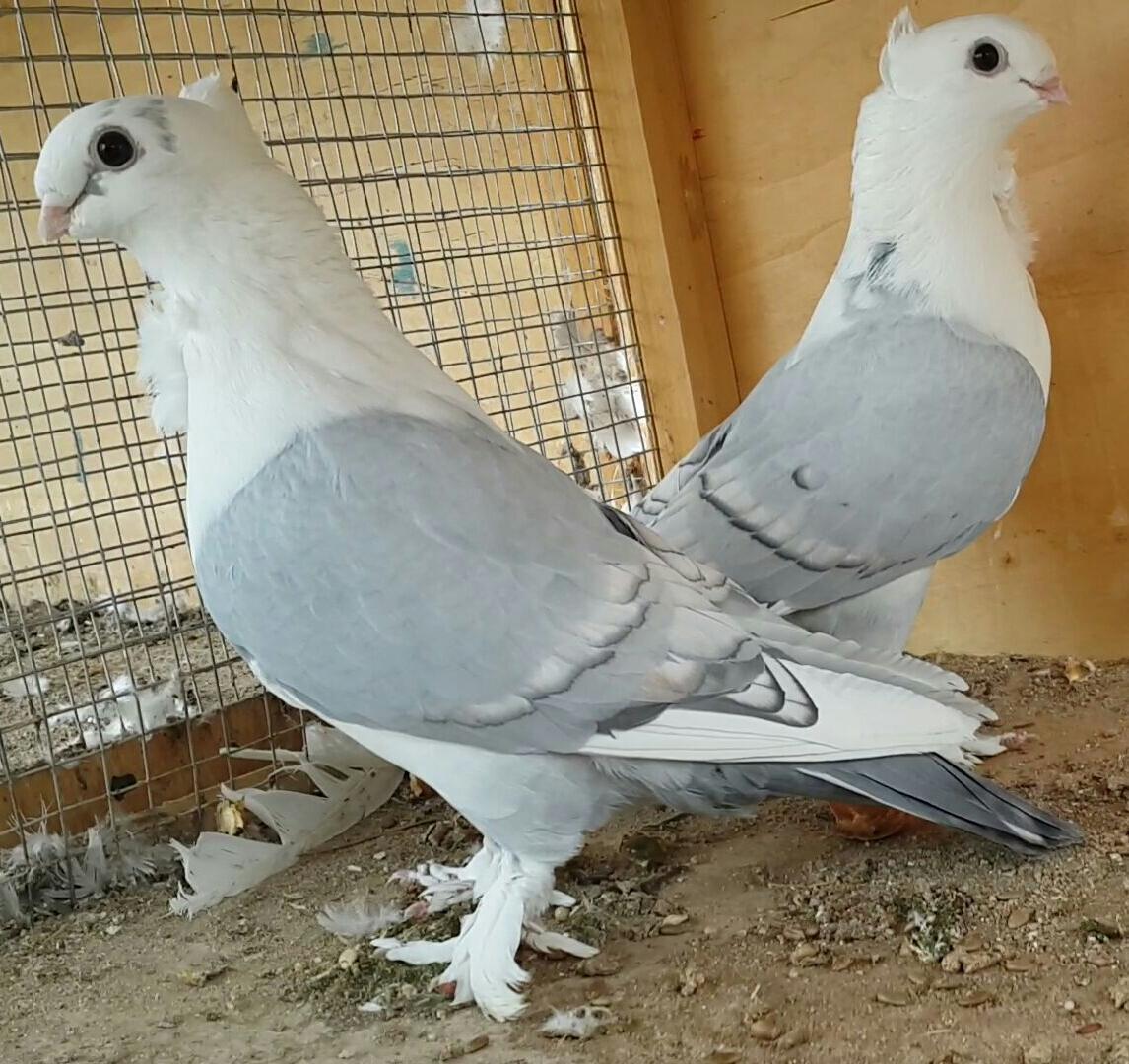صور حمام طيور جميلة اجمل خلفيات طيور جارحة طيور جميلة 3