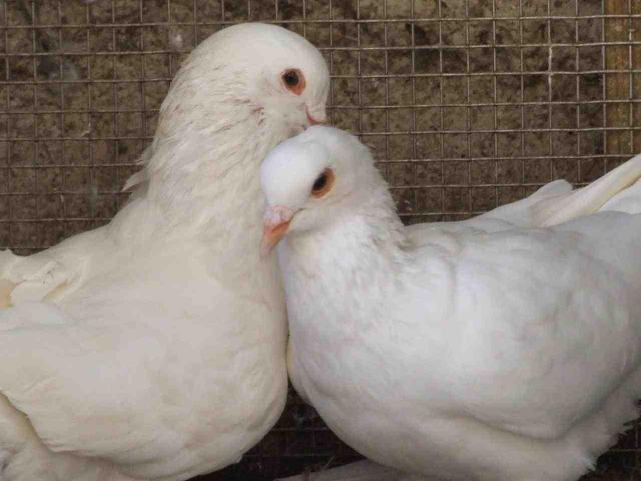 صور حمام طيور جميلة اجمل خلفيات طيور جارحة طيور جميلة 31