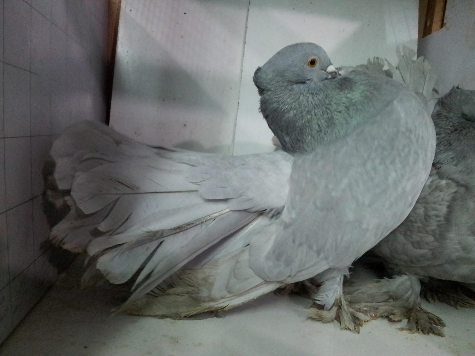 صور حمام طيور جميلة اجمل خلفيات طيور جارحة طيور جميلة 6