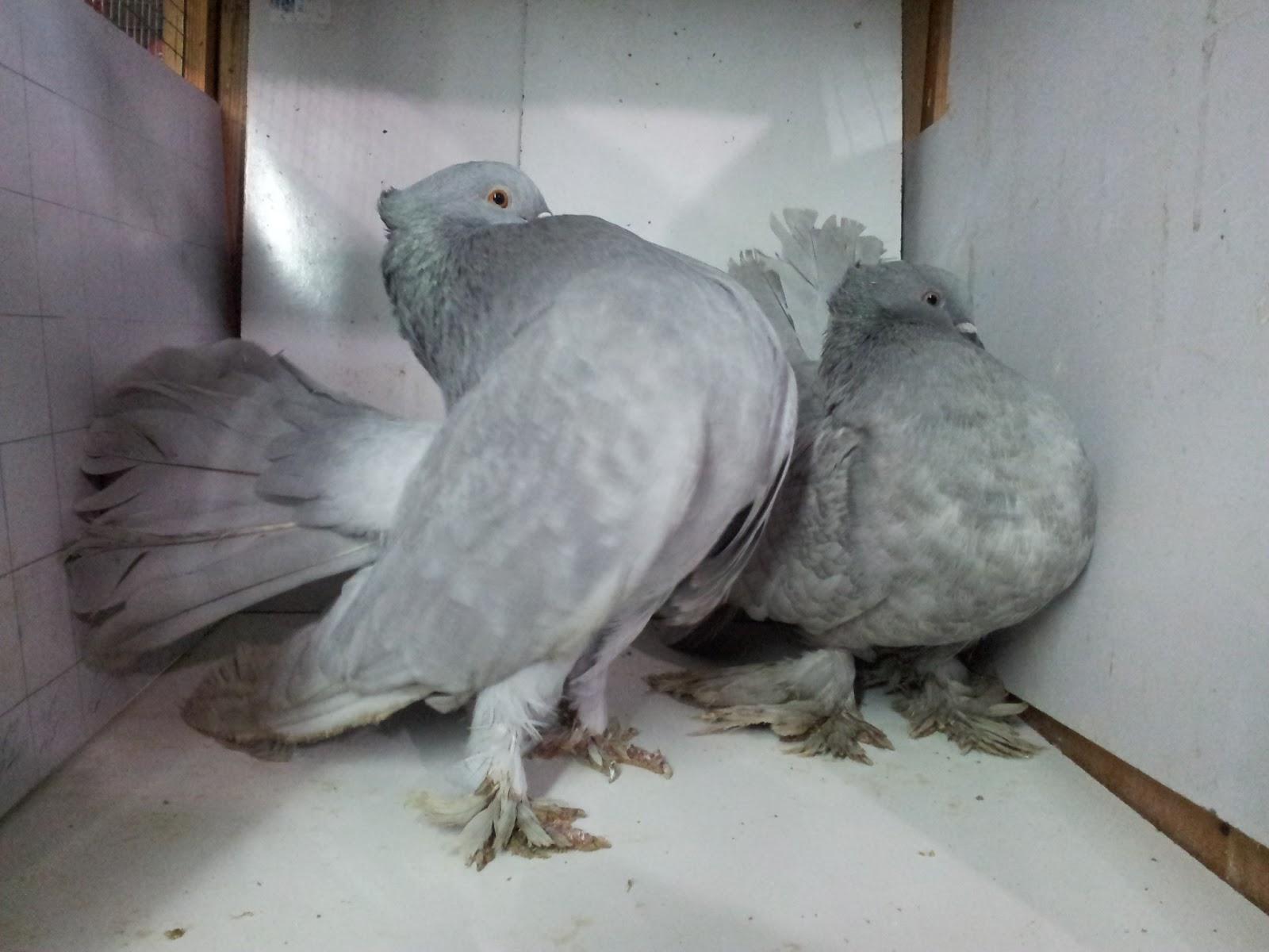 صور حمام طيور جميلة اجمل خلفيات طيور جارحة طيور جميلة 8