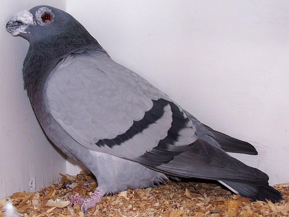 صور حمام طيور جميلة اجمل خلفيات طيور جارحة طيور جميلة 9