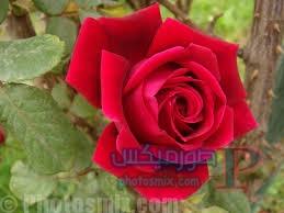 رائعة عن الورود 3