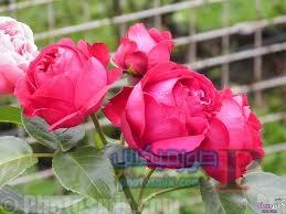 رائعة عن الورود 4