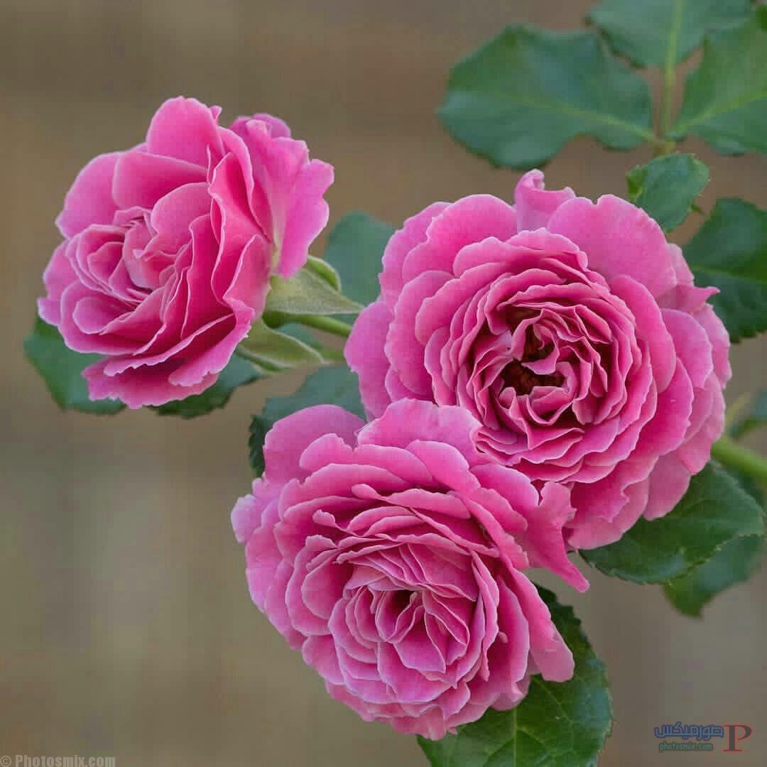 رائعة عن الورود 6