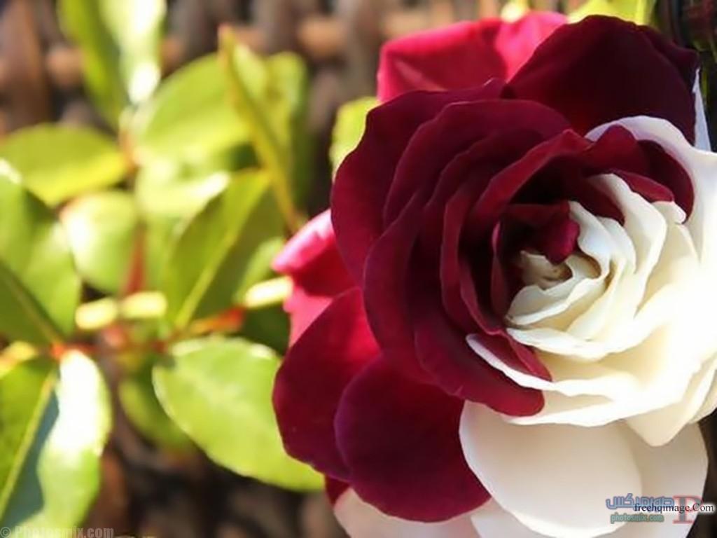 رائعة عن الورود 8