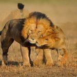 أسد 2019 أنواع الأسود وحياتها صور ميكس 26