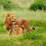 أسد 2019 أنواع الأسود وحياتها صور ميكس 31