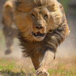 أسد 2019 أنواع الأسود وحياتها صور ميكس 36