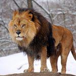 أسد 2019 أنواع الأسود وحياتها صور ميكس 9