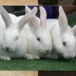 -ارانب-2019-معلومات-كاملة-عن-الأرانب-صور-ميكس-11-150x150 صور ارانب 2019 معلومات كاملة عن الأرانب