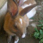 -ارانب-2019-معلومات-كاملة-عن-الأرانب-صور-ميكس-13-150x150 صور ارانب 2019 معلومات كاملة عن الأرانب