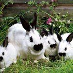 -ارانب-2019-معلومات-كاملة-عن-الأرانب-صور-ميكس-20-150x150 صور ارانب 2019 معلومات كاملة عن الأرانب