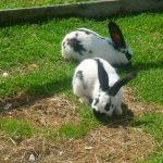 -ارانب-2019-معلومات-كاملة-عن-الأرانب-صور-ميكس-26-150x150 صور ارانب 2019 معلومات كاملة عن الأرانب