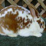 -ارانب-2019-معلومات-كاملة-عن-الأرانب-صور-ميكس-28-150x150 صور ارانب 2019 معلومات كاملة عن الأرانب