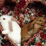 -ارانب-2019-معلومات-كاملة-عن-الأرانب-صور-ميكس-39-150x150 صور ارانب 2019 معلومات كاملة عن الأرانب