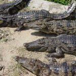تمساح ومعلومات عن حياة وأنواع التماسيح صور ميكس 1