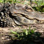 تمساح ومعلومات عن حياة وأنواع التماسيح صور ميكس 12