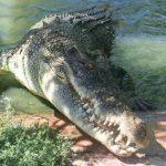 تمساح ومعلومات عن حياة وأنواع التماسيح صور ميكس 19
