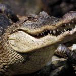 تمساح ومعلومات عن حياة وأنواع التماسيح صور ميكس 2