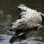 تمساح ومعلومات عن حياة وأنواع التماسيح صور ميكس 21