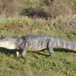 تمساح ومعلومات عن حياة وأنواع التماسيح صور ميكس 24