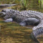 تمساح ومعلومات عن حياة وأنواع التماسيح صور ميكس 26