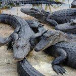 تمساح ومعلومات عن حياة وأنواع التماسيح صور ميكس 34