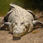 تمساح ومعلومات عن حياة وأنواع التماسيح صور ميكس 36