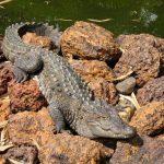 تمساح ومعلومات عن حياة وأنواع التماسيح صور ميكس 37