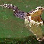 تمساح ومعلومات عن حياة وأنواع التماسيح صور ميكس 42