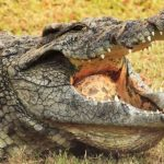 تمساح ومعلومات عن حياة وأنواع التماسيح صور ميكس 44