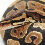 ثعبان 2019 تعرف على الثعابين وحياتها صور ميكس 23