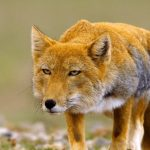 ثعلب ومعلومات عن حياة الثعالب حقيقية صور ميكس 7
