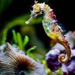 -حصان-البحر-حياة-حصان-البحر-وأنواعة-صور-ميكس-17-150x150 صور حصان البحر حياة حصان البحر وأنواعة