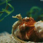 -حصان-البحر-حياة-حصان-البحر-وأنواعة-صور-ميكس-20-150x150 صور حصان البحر حياة حصان البحر وأنواعة