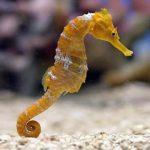 -حصان-البحر-حياة-حصان-البحر-وأنواعة-صور-ميكس-3-150x150 صور حصان البحر حياة حصان البحر وأنواعة