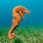 -حصان-البحر-حياة-حصان-البحر-وأنواعة-صور-ميكس-30-150x150 صور حصان البحر حياة حصان البحر وأنواعة