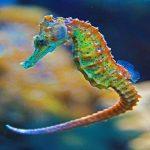 -حصان-البحر-حياة-حصان-البحر-وأنواعة-صور-ميكس-6-150x150 صور حصان البحر حياة حصان البحر وأنواعة