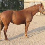 حصان 2019 أنواع الحصان ومعلومات كاملة صور ميكس 12