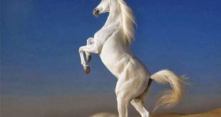 حصان 2019 أنواع الحصان ومعلومات كاملة صور ميكس 18