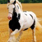 حصان 2019 أنواع الحصان ومعلومات كاملة صور ميكس 25